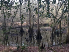 "These are called ""buttressed"" trees. They had to adapt to the water by forming wide trunks."