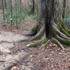 Fascinating. These trees are growing on top of limestone so the roots are adapting.