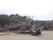 Erosion causes the trees to fall which then protect the dunes