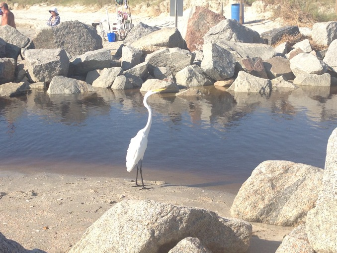 Beautiful Egret looking for food.