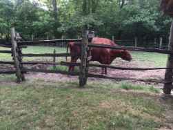 The oxen work the farm.