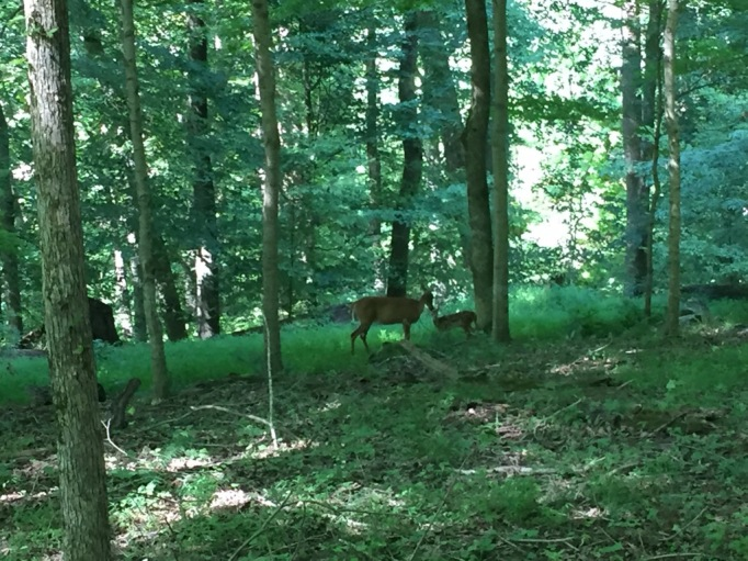 A Doe and her Fawn spotted while on the Heritage Walk